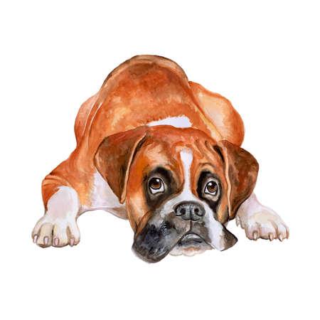 perro boxer: retrato de la acuarela del cervatillo alemán, perro de raza boxer Deutscher aislado sobre fondo blanco. Dibujado a mano dulce mascota. Los colores brillantes, aspecto realista. Diseño de la tarjeta. Clipart. Añadir su tex