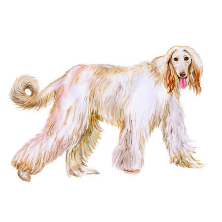afghan: Watercolor portrait of Afghan Hound breed dog isolated on white background. Hand drawn sweet pet. Bright colors, realistic look. Greeting card design. Clip art