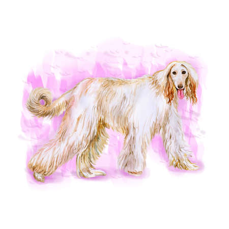 afghan hound: Watercolor portrait of Afghan Hound breed dog isolated on pink background. Hand drawn sweet pet. Bright colors, realistic look. Greeting card design. Clip art Stock Photo