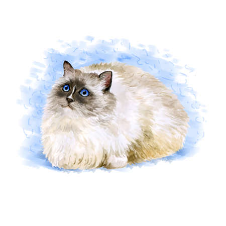 burmese: Watercolor portrait of American, USA Ragdoll cat isolated on blue background. Hand drawn sweet home pet. Bright colors, realistic look. Blue eyes. Greeting card design. Clip art. Add text