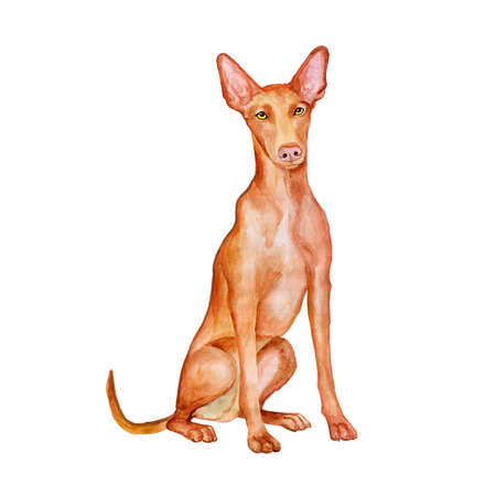 phoenicians: Watercolor portrait of Maltese Pharaoh Hound dog isolated on white background. Hand drawn detailed sweet home pet. Bright colors, realistic look. Greeting card design. Clip art. Add your text