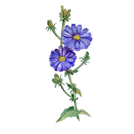asteraceae: Watercolor drawing of  chicory, succory flowers blossom and burgeons on white background. Hand drawn Asteraceae family plant. Bright colors design, realistic look. Greeting card design. Clip art
