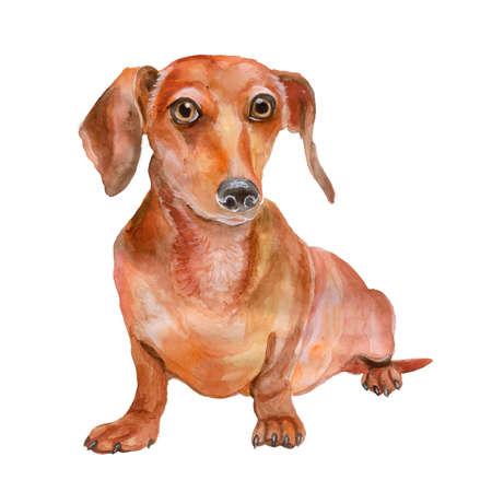 빨간색 부드러운 닥스 훈트 품종, 독일 barger 강아지, 흰색 배경에 고립의 수채화 초상화. 짧은 다리, 긴 몸집이 작은 개. 인사말 카드 디자인입니다. 클