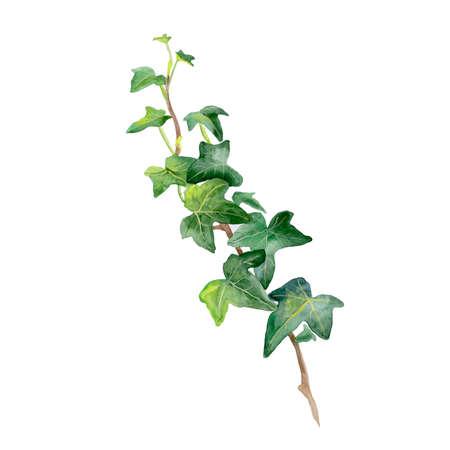 Waterverftekening van groene klimop takje op een witte achtergrond. Hand getrokken Araliaceae familie plant. Heldere kleuren ontwerp, realistisch volume look. Wenskaart design. Clip art. Voeg uw tekst