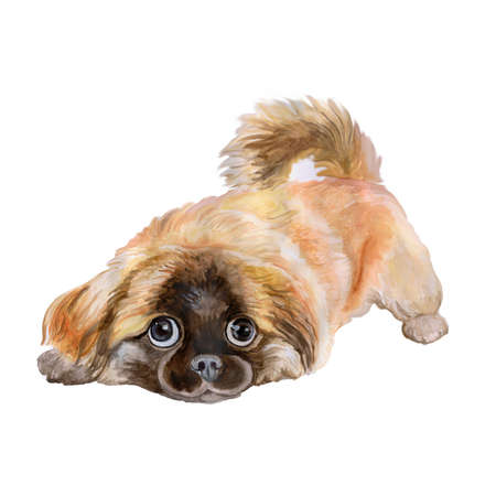 animalia: Watercolor portrait of red pekingese chinese dog, Lion Dog, Peking Lion Dog, Pelchie Dog, or Peke isolated on white background. Hand drawn realistic look. Greeting card design. Clip art. Add your text