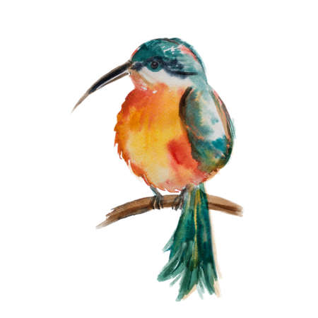 distinctive: Flying North American Ruby-troathed hummingbird with colorful glossy plumage: distinctive red throat and green reflections on the back. Hand drawn vector illustration on white background. Stock Photo