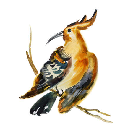 eurasian: Watercolor hand drawn artistic illustration of tropical cristate bird sitting on the branch. Beautiful Hoopoe, Eurasian Hoopoe. Upupa epops. Flora and fauna concept. Add your text. Wonderful songbird