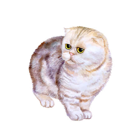 exotic pet: Watercolor portrait of rare exotic Flappig toy-fold cat isolated on white background. Hand drawn detailed sweet home pet. Bright colors, realistic look. Greeting card design. Clip art. Add your text