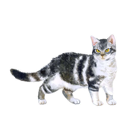 rare: Watercolor portrait of rare exotic American wirehair cat isolated on white background. Hand drawn detailed sweet home pet. Bright colors, realistic look. Greeting card design. Clip art. Add your text Stock Photo