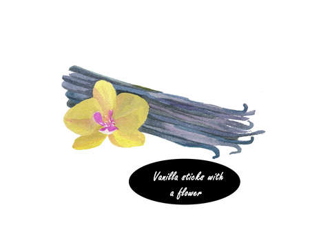 spicy plant: Watercolor bunch of vanilla sticks and orchid flower on white background. Flat-leaved vanilla. Vanilla orchids, Flowering plant in the orchid family (Orchidaceae). Pompona Vanilla. Herb spicy series