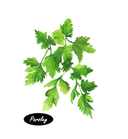 Watercolor parsley isolated on white background. Anethum graveolens. Annual herb in the celery family Apiaceae. Healthy food natural organic plant. Evergreen herb with culinary and medicinal uses.