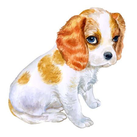 charles: Watercolor portrait of English Blenheim-colored Cavalier King Charles Spaniel breed dog isolated on pink background. Hand drawn sweet pet. Realistic look. Greeting card design. Clip art. Add text