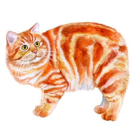 Watercolor portrait of red Manx, Manks cat with no tail isolated on white background. Hand drawn sweet home pet. Bright colors, realistic design. Greeting card design. Clip art. Place for your text