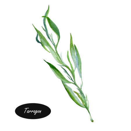 tarragon: Watercolor illustration of Tarragon or Artemisia dracunculus. Species of perennial herb in the sunflower family. Leaves are used as an aromatic culinary herb. French, Russian, wild tarragon.