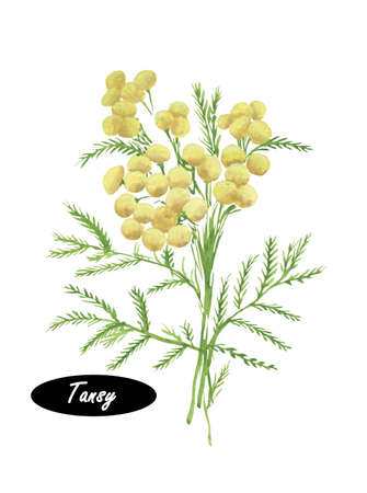 Watercolor Tansy botanical  illustration.  Common tansy, bitter buttons, cow bitter, golden buttons. Tansy or Tanacetum vulgare is a perennial, herbaceous flowering plant of the aster family Stock Photo