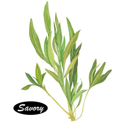 Watercolor hartige Spice. Geslacht van aromatische plant van de familie Lamiaceae, gerelateerd aan rozemarijn en tijm. Bonenkruid Satureja hortensis en winter hartige Satureja montana worden gebruikt om de smaak van voedsel.