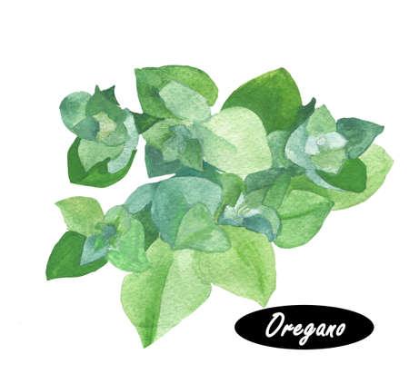 수채화 신선한 오레가노와 sprigs. 과학적인 이름의 꽃 박하 속의 식물 vulgare의. 꽃 박하 속의 식물, 박하 가족 꿀풀과의 속의 일반적인 종. 허브 향신료.
