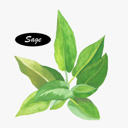 salvia: Watercolor sage herb. Salvia.  Genus of plants in the mint family, Lamiaceae. Salvia is part of the tribe Mentheae within the subfamily Nepetoideae. Healthy food natural organic plant.