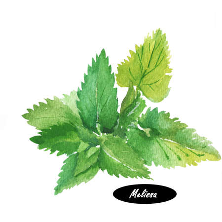 Watercolor melissa. Melissa officinalis. Lemon balm. Malissa, Melesa, Melessa  Meliza Mellisa Melosa and Molissa. Herbs spices. Healthy food natural organic plant. Kitchen herbs and spices banner.