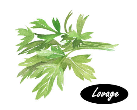 perennial: Watercolor illustration of lovage.  Levisticum officinale. Medicinal herb, flowers with leaves. Tall perennial plant,  species in the genus Levisticum in the family Apiaceae, subfamily Apioideae