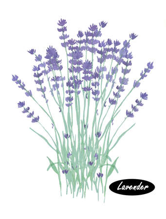 lavandula angustifolia: Watercolor lavender. Lavandula or lavender. Flowering plant in the mint family, Lamiaceae. Lavandula angustifolia. Herbs spices. Healthy food natural organic plant. Cosmetic ingredient