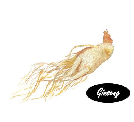 Watercolor ginseng. Ginseng langzaam groeiende vaste planten met vlezige wortels, behoren tot het geslacht Panax van de familie Araliaceae. Kruiden specerijen. naughty organisch gezond voedsel Stockfoto