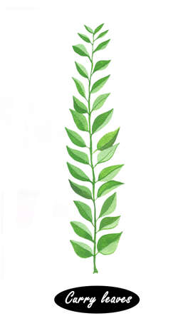 Hand drawn curry leaves branch isolated on white. Spicy herbs. Doodle cooking ingredient for design. Seasoning. Watercolor. Curry tree is a tropical to sub-tropical tree in the family Rutaceae Stock Photo