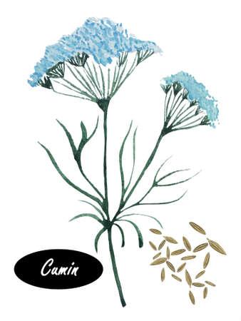 수채화 커민 흰색 배경에 고립입니다. 커민, cuminum, cyminum. 가족 미나리과에 꽃 식물입니다. 전통 약용 식물. 허브와 향신료 배너입니다. 요리 재료입니