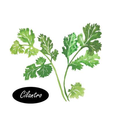 수채화 그린 실 란 트로 잎 근접 흰색에 격리. 실 란 트로 또는 고 수. 중국어 파 슬 리입니다. Apiaceae과에 속하는 일년초. 허브 향신료. 건강 식품 천연  스톡 콘텐츠