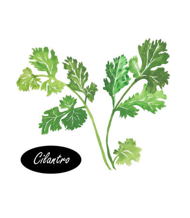 potherb: Watercolor green cilantro leaves close-up isolated on a white. Cilantro or coriander. Chinese parsley. Annual herb in the family Apiaceae.  Herbs spices. Healthy food natural organic plant