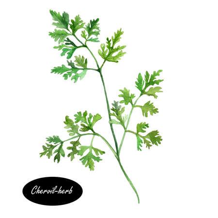 Watercolor kervel of Frans peterselie kruid. Delicate jaarlijkse kruid in verband met peterselie. Het wordt vaak gebruikt om het seizoen mild smakende gerechten en is een bestanddeel van de Franse kruidenmengsel fijne kruiden.