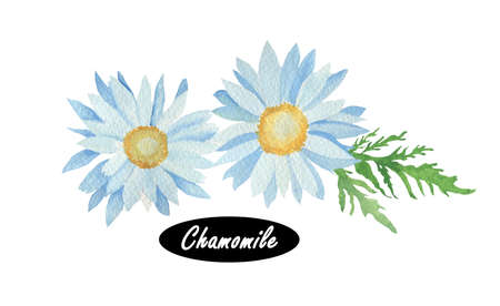 asteraceae: Watercolor Chamomile or camomile. Daisy-like plant of the family Asteraceae. Serve various medicinal purposes.  Herbs spices. Healthy food natural organic plant. Spring blossom