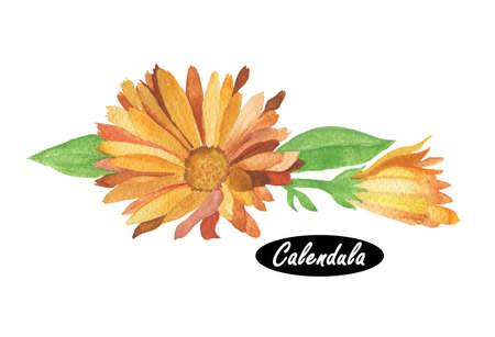 수채화 송 그림입니다. 데이지 가족 국화과. 금잔화. 속 이름 송은 calendae의 소형이다. 송 화 officinalis. 인기있는 허브 및 화장품 제품. 허브와 향신료. 스톡 콘텐츠