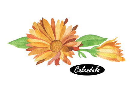 diminutive: Watercolor calendula illustration. Daisy family Asteraceae. Marigolds. Genus name Calendula is  diminutive of calendae. Calendula officinalis. Popular herbal and cosmetic products. Herbs and spices.
