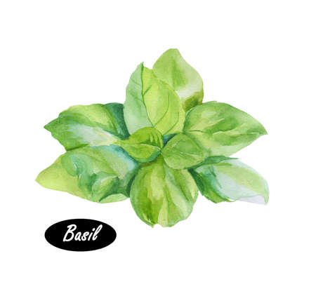 바 질 잎 수채화 그림입니다. 바 질 또는 Ocimum basilicum,라고도 훌륭한 바 질 또는 세인트 조셉의 wort. 꿀풀과 민트의 요리 허브. 허브의 왕. 로얄 허브