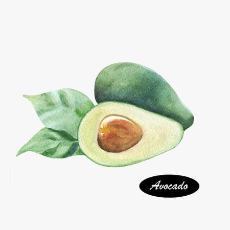 Hand getekende aquarel schilderen van avocado. Persea americana. Bloeiende plant familie Lauraceae. Avocado of alligator peer is fruit, botanisch grote bessen dat een enkele zaad bevat.