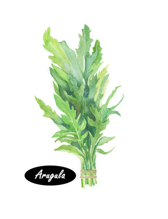 roquette: Arugula icon. Eruca sativa. Annual plant, commonly known as salad rocket, rucola rucoli rugula colewort roquette, and arugula. Plant of the Brassicaceae family. Garden rocket, rocket  and eruca Stock Photo