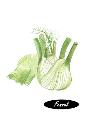 Watercolor fresh fennel isolated on white background. Kitchen herbs and spices banner. Hand painted illustration of healthy organic food. Series of ingredients for cooking. Fennel bulbs.