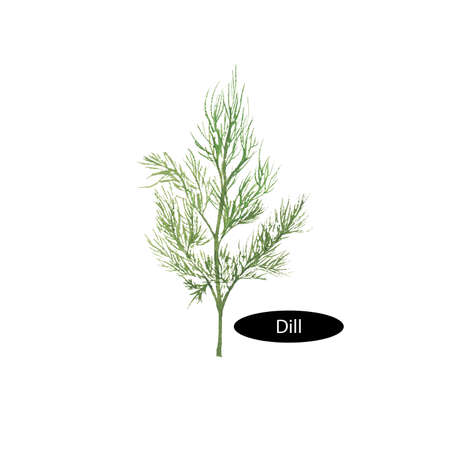 dill: Watercolor dill isolated on white background. Anethum graveolens. Annual herb in the celery family Apiaceae. Healthy food natural organic plant. Evergreen herb with culinary and medicinal uses.