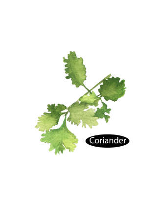 Watercolor green coriander leaves close-up isolated on a white background. Cilantro. Chinese parsley. Annual herb in the family Apiaceae. Herbs spices. Healthy food natural organic plant.