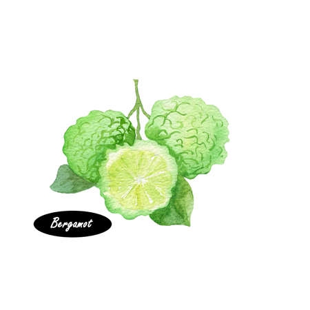 흰색 배경에 고립 된 분기에 수채화 베 르 가모. 손으로 그린 된 식물 그림입니다. 초본 성분의 시리즈입니다. 감귤류 과일. 천연 화장품 성분. 프 스톡 콘텐츠