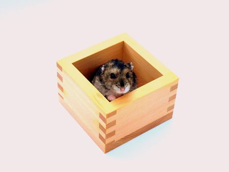 Cute hamster playing in a little wooden box. photo