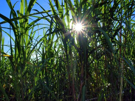 sugarcane: Sun breaks through the tall sugar cane leaves Stock Photo
