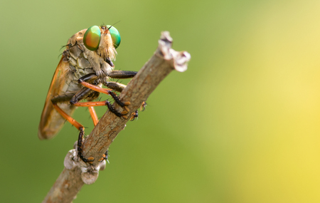 asilidae: Robber Fly patiently waits on a twig.