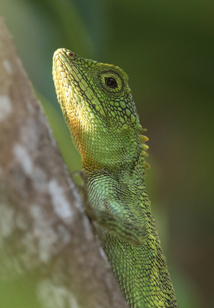 blends: Beautiful Green Tree Lizard blends with the background. Stock Photo
