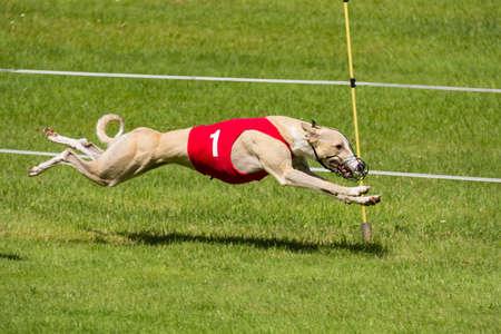 Greyhound hond racen