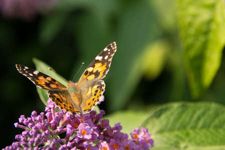 ladys mantle: Painted lady on a Butterfly bush