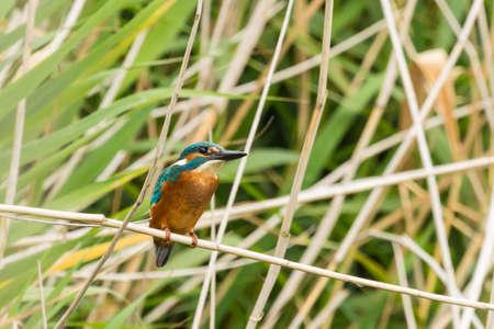 kingfisher: Common Kingfisher Stock Photo