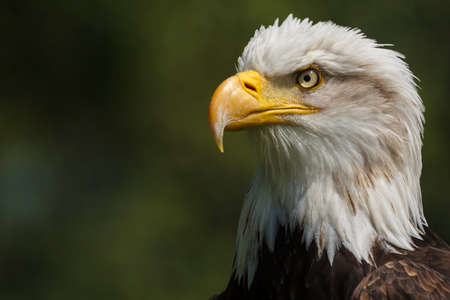 whitetailed: American Eagle portrait