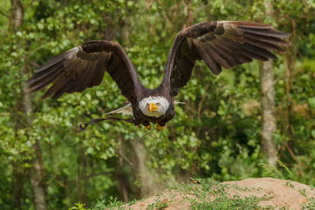 haliaeetus: American eagle taking off to fly